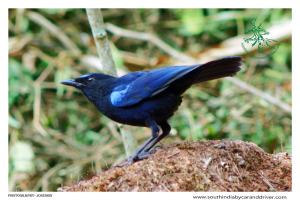 Malabar Whistling thrush I birds Kerala I tours