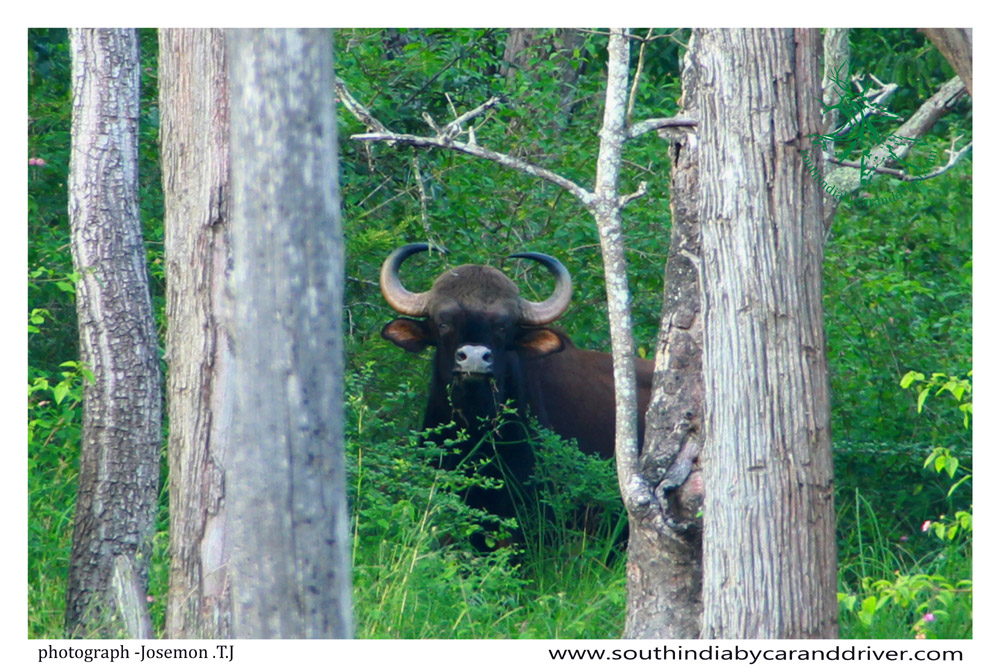 The gaur, also called Indian bison