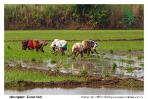 001 Rice between Gangaikondacholapuram and Kumbakonam