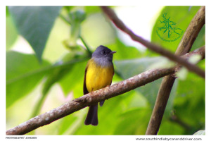 Flycatcher I Birds I Kerala I Cochin cars