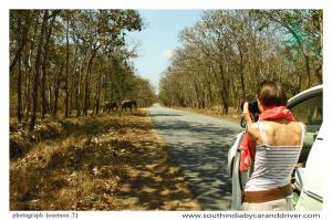 Elephants Bandipur